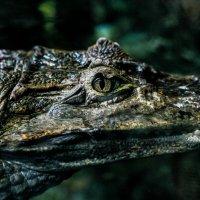 Крокоdile :: Элла Мережская