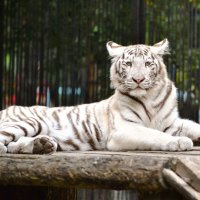 Детеныш белого тигра. :: cfysx