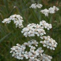 Лесное цветение :: Ольга