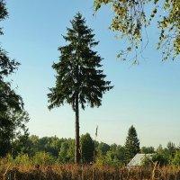Дерево и утро. :: Владимир Гилясев