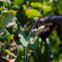 виноградный паук :: Борис Иванов