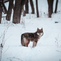 Lone Wolf. :: Лев Ивлев