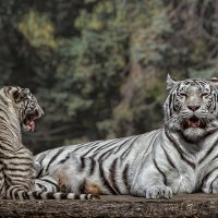 Бенгальский тигр :: Nn semonov_nn