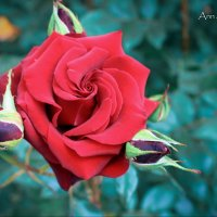 Роза :: Ann Stikhilyas