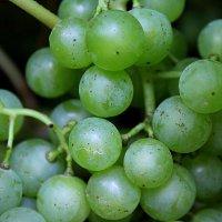 Сибирский виноград :: Елена Бушуева