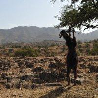 Коза у арганового дерева :: Роберт Гресь