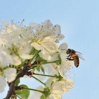 Пчелка Майя)) :: Алексей