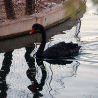 Черный лебедь :: Станислав Третьяков
