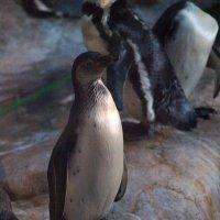 пингвин :: Станислав Третьяков