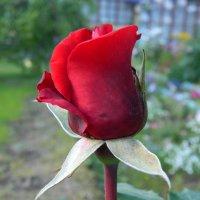 Роза :: Павел Мудрик