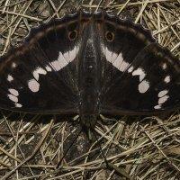 Переливница ивовая. Apatura iris (самец) :: Александр Аксёнов