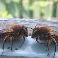 Пчелы :: Евгения Головина