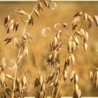 Солнечные колоски ... :: Алла Кочергина