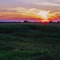 Закат на кукурузном поле :: Ирина Приходько