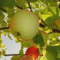 Солнечные яблочки. :: Михаил Попов
