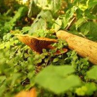 Гриб в лесу :: Антон Северовъ
