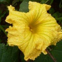 Тыквенный цветок :: lara461