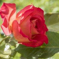 роза :: Лариса Батурова