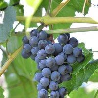 Сибирский виноград :: Andrey65