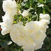 Белые розы :: Елена Смолова