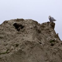 Полярная сова :: Андрей Леднев