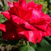 Розы в конце августа...3 :: Тамара (st.tamara)
