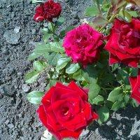 Розы :: Любовь Игнатова