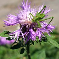 На цветке сидел кузнечик.... :: Зоя Мишина