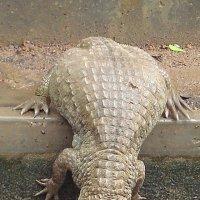 Крокодил :: Алла