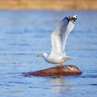 Серебристая чайка :: Иван Голубев