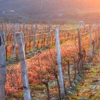Закат на винограднике :: Светлана Федорова