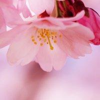 Розовая нега :: Swetlana V