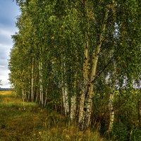От чего так в России березы шумят... :: Андрей Дворников
