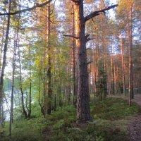 утренний лес :: Елена
