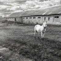Белая лошадь :: Юрий Дьяков