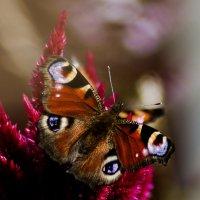 Påfågelöga :: liudmila drake