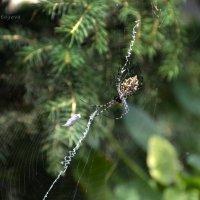 Первые пауки появились на нашей планете около 400 миллионов лет назад. :: Anna Gornostayeva