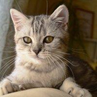 British Cat :: Иван Новоселов