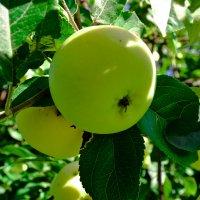 Яблочки сибирские, дачные. :: cfysx