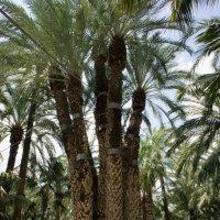 Уникальная пальма в Эльче :: Irina Shtukmaster