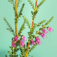 Цветы вереска :: Виталий