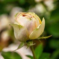 роза :: олеся тронько