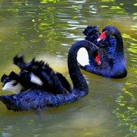 Пара черных лебедей :: Милешкин Владимир Алексеевич