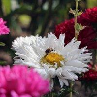 пчелка собирает пыльцу :: Анатолий Бушуев