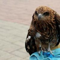 Степной орёл :: Дмитрий Арсеньев
