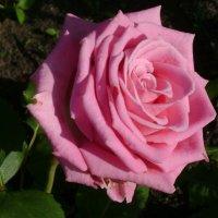 Великие Луки. Роза №2 :: Марина Домосилецкая