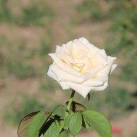 Роза :: Инга Курдюмова