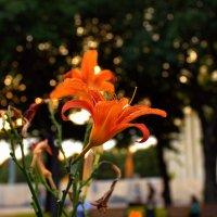 Лилия в парке :: Александра
