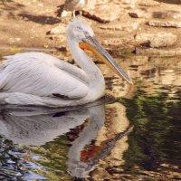 Пеликан кудрявый :: ирина Пронина
