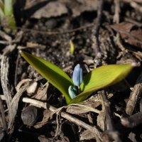 Первенец весны :: Алина Леликова